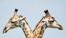 Giraffe by vincent-van-zalinge (resized)