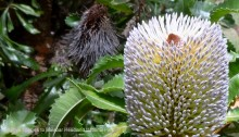 Banksia Serrata Candles native to Sydney